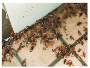 怎樣有效殺死蟑螂