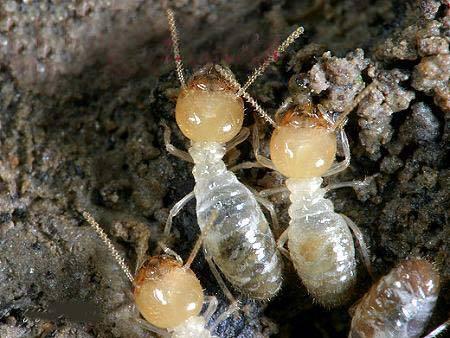 白蟻的禍害